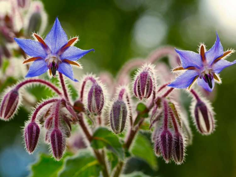 Growing Borage From Seed – Planting Guide