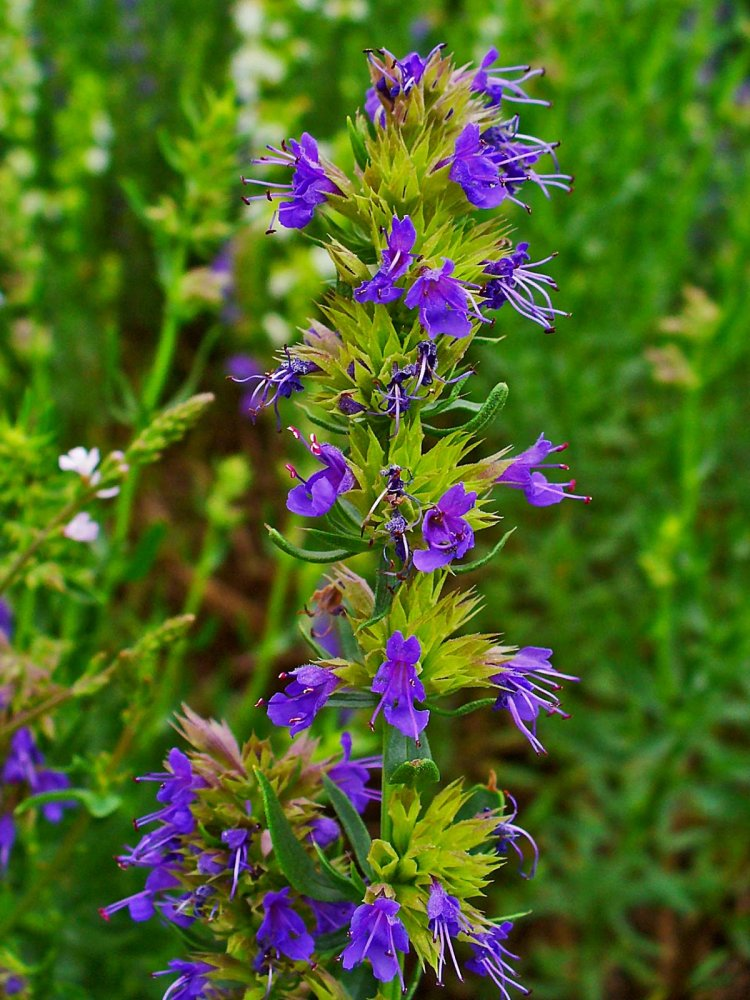 Growing Hyssop – Planting Tips, Techniques