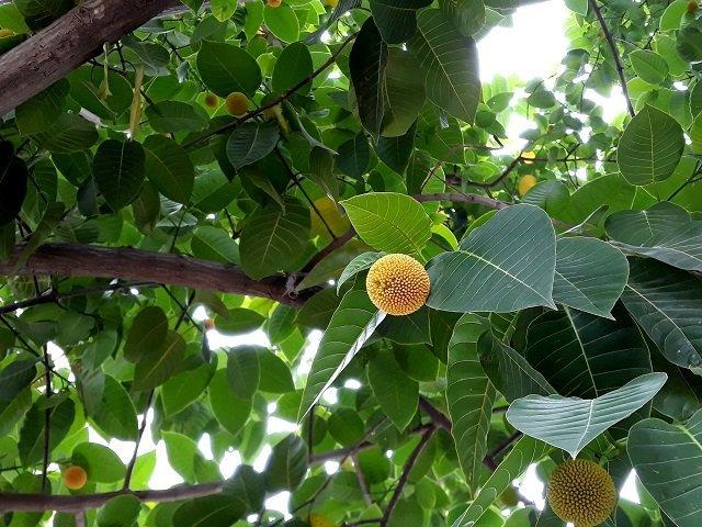 Kadamba tree (Anthocephalus cadamba)