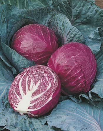 Growing Red Cabbage – Tips, Techniques, and Secrets