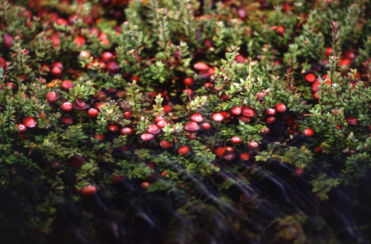 Cranberry Farming – Growing Tips, and Techniques