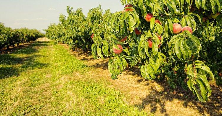 High Density Peach Planting – A Full Guide