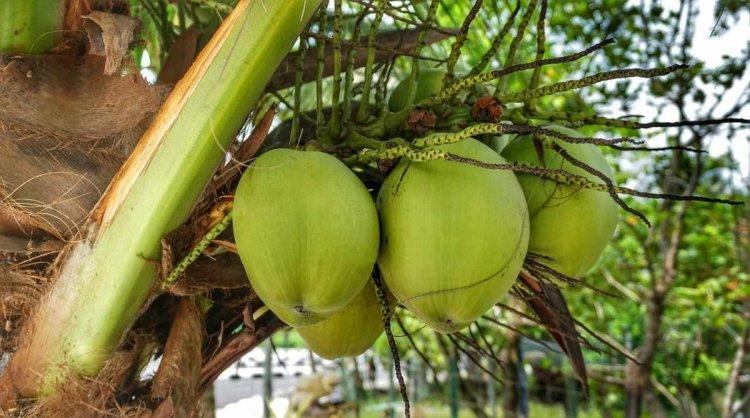 High Density Coconut Plantation – Spacing, Yield