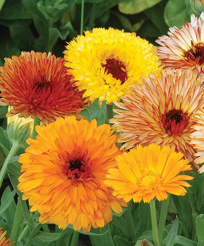 Growing Calendula From Seed – Planting Guide