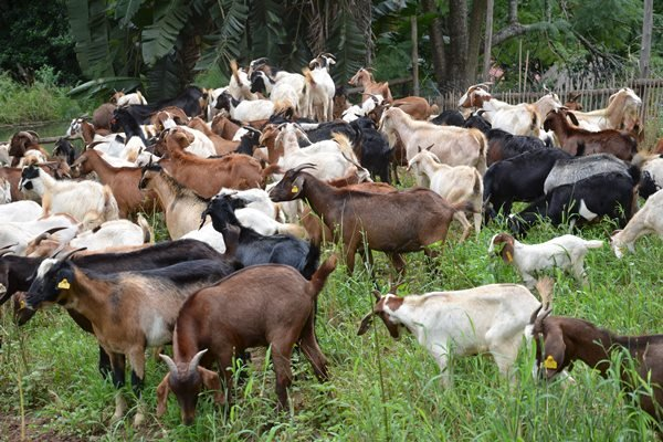 Goat Farming In Africa – Goat Breeds, And Feed