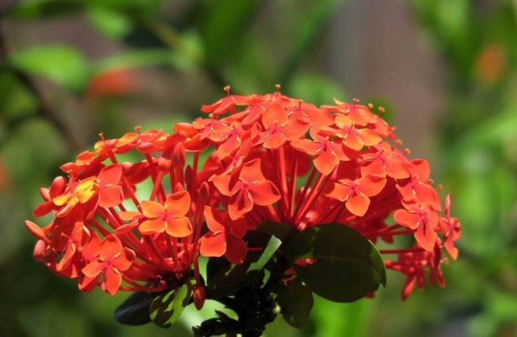 Growing Ixora – A Full Planting Guide