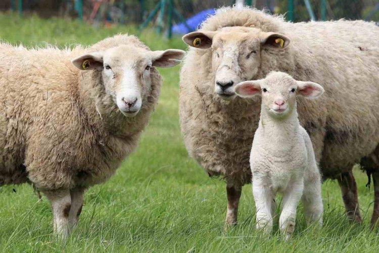 Sheep Farming In Australia – Sheep Breeds