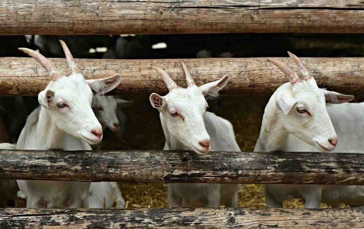 Goat Farming In The Philippines – Goat Breeds