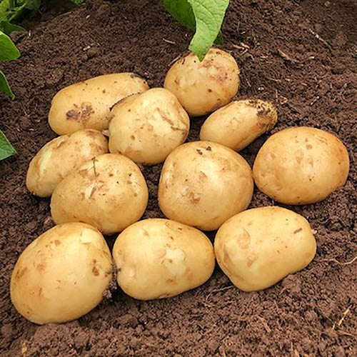 Frequently Asked Questions About Potato Farming, Planting