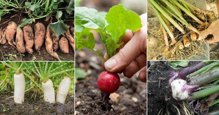 Planting Root Vegetables – Growing Root Vegetables