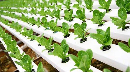 Growing Arugula Hydroponically -Yield, pH, Nutrient