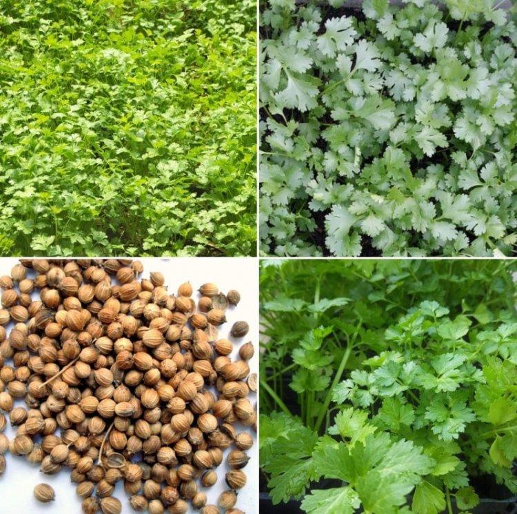 Organic Coriander Farming – Planting Guide