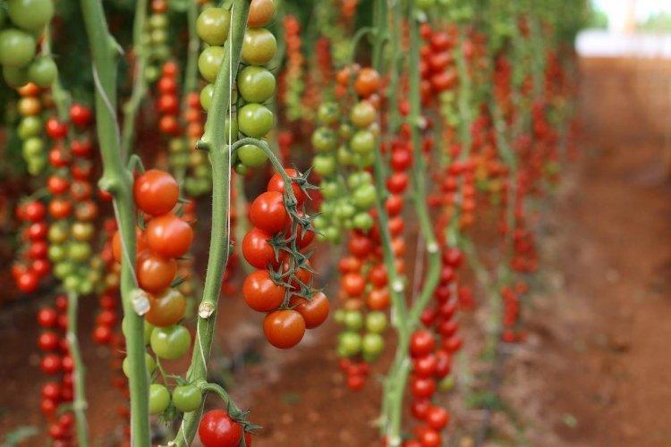 Mulching Tomato Plants, Procedure, and Benefits
