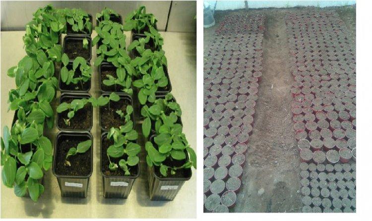 Nursery Management in Vegetable Crops