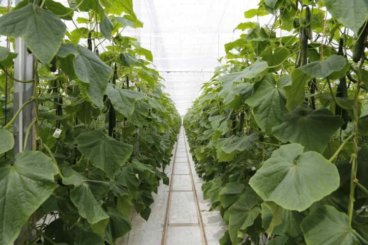 Vegetable Farming in Greenhouse, Cultivation Practices