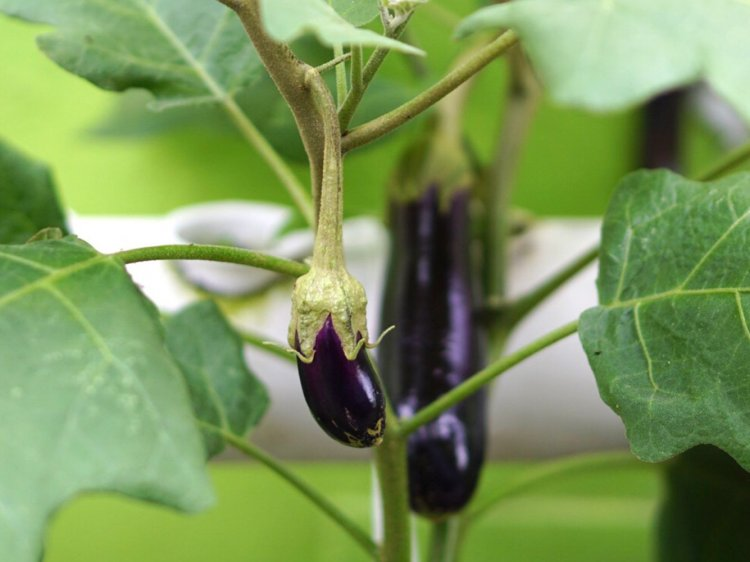 Brinjal Seed Germination (Eggplant) Procedure