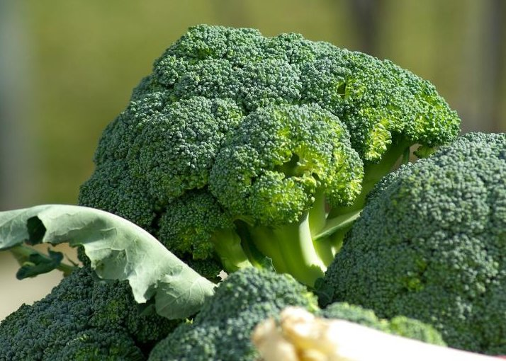 Broccoli Farming in Polyhouse for Profit – A Full Guide