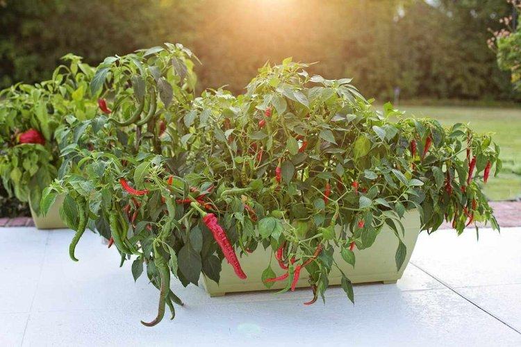 Chilli Seed Germination, Time, Temperature, Procedure