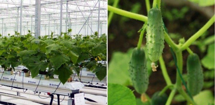 Cucumber Farming in Polyhouse (Kheera) for Profit