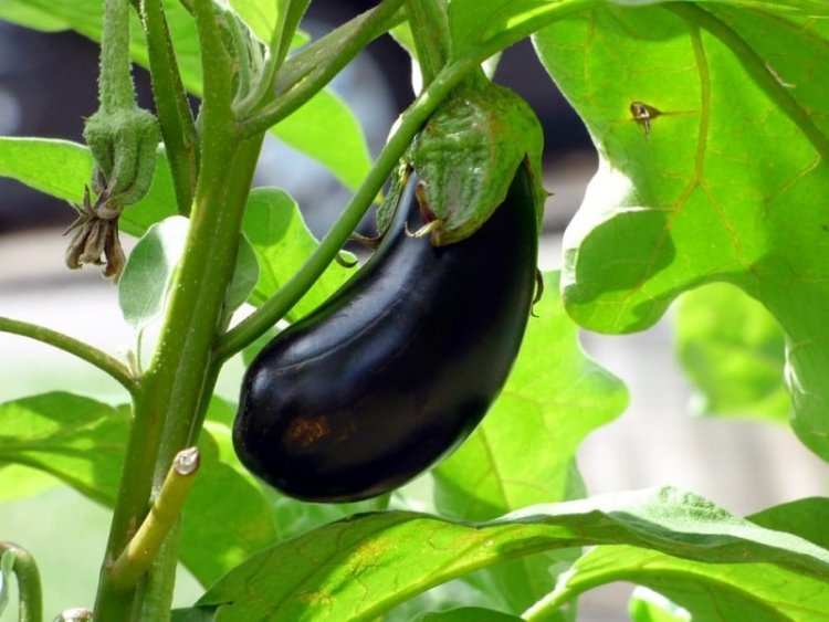 Eggplant Farming in Polyhouse (Vankaya) for Profit