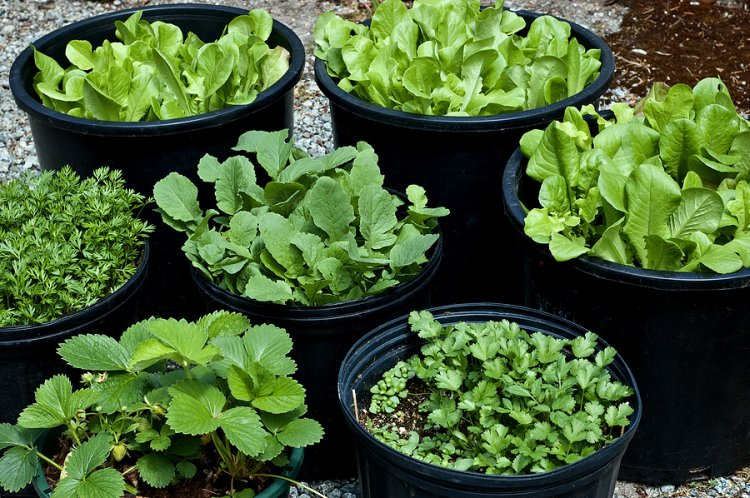 Growing Leafy Vegetables in Pots at Home