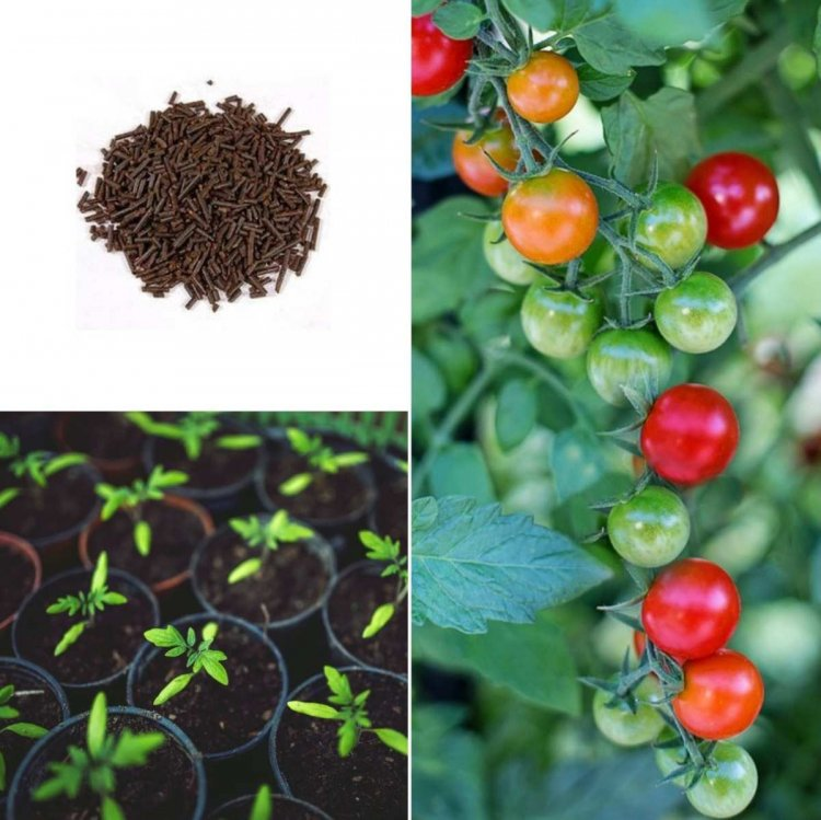 Growing Tomatoes Organically, Cultivation Practices