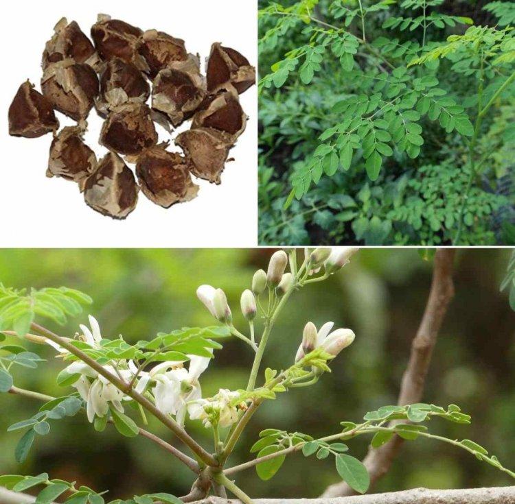Moringa Seed Germination Procedure, Spacing, Yield