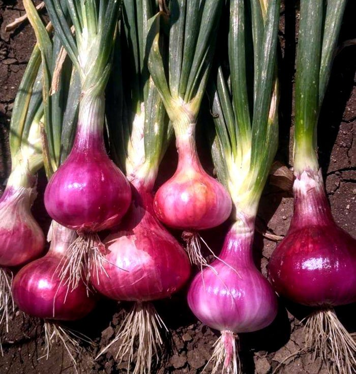 Onion Seed Germination, Time, Temperature, Procedure