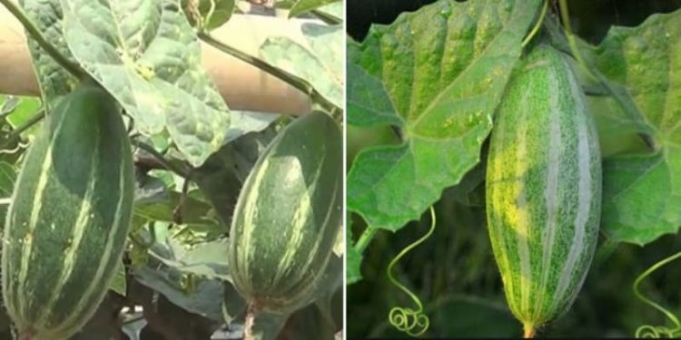 Pollinating Vegetable Gourds by Hand – A Full Guide
