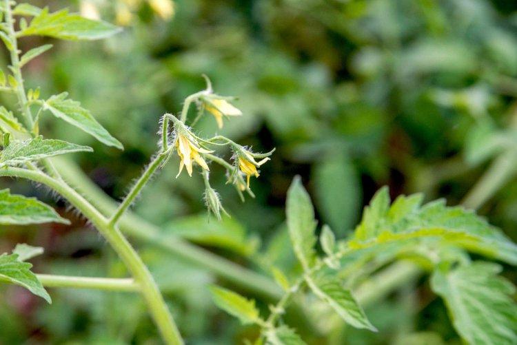 Tomato Blossom Drop Causes, Control Methods