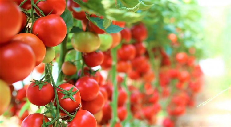 Tomato Farming in Polyhouse for Profit – A Full Guide