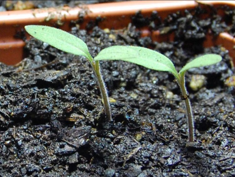 Tomato Seed Germination, Time Period, and Procedure