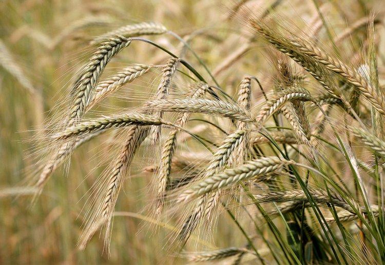 Barley Seed Germination, Temperature, Period, Procedure