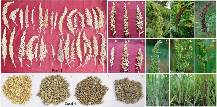 Barnyard Millet Farming – Production Practices