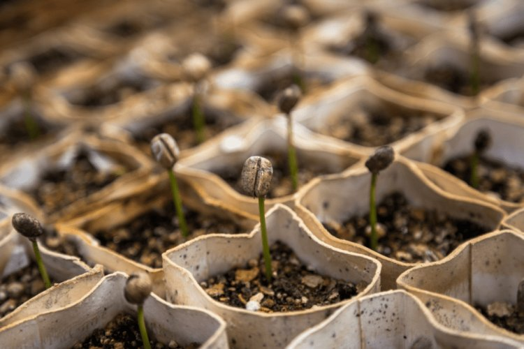 Coffee Seed Germination, Conditions, Sowing Procedure