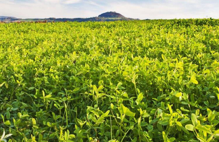 Green Manure In Organic Farming –Advantages