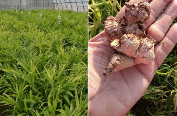 Greenhouse Ginger Farming – A Full Planting Guide of Ginger Farming