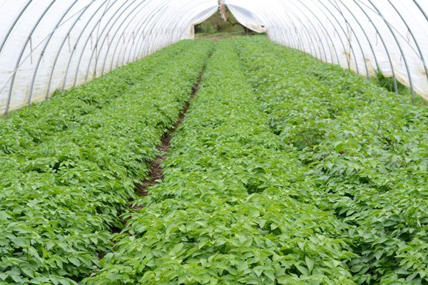 Potato Production in Greenhouse – Farming, Cultivation, Growing In Winter