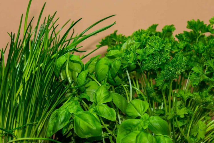 Growing Herbs Hydroponically – Farming Practices