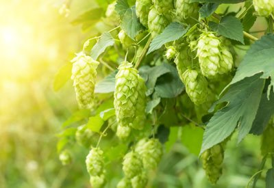 Growing Hops Hydroponically – Process, pH, Nutrients
