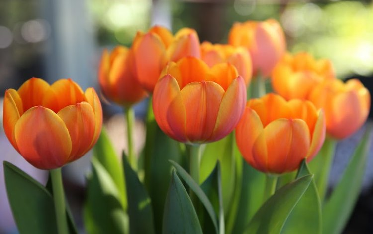 Hydroponic Tulips Farming, Growing Tulips Hydroponically Introduction