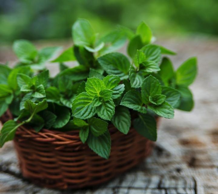 Organic Mint Farming (Pudina), Planting And Growing Introduction