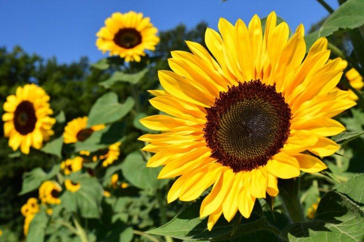 Organic Sunflower Production – Cultivation, Farming