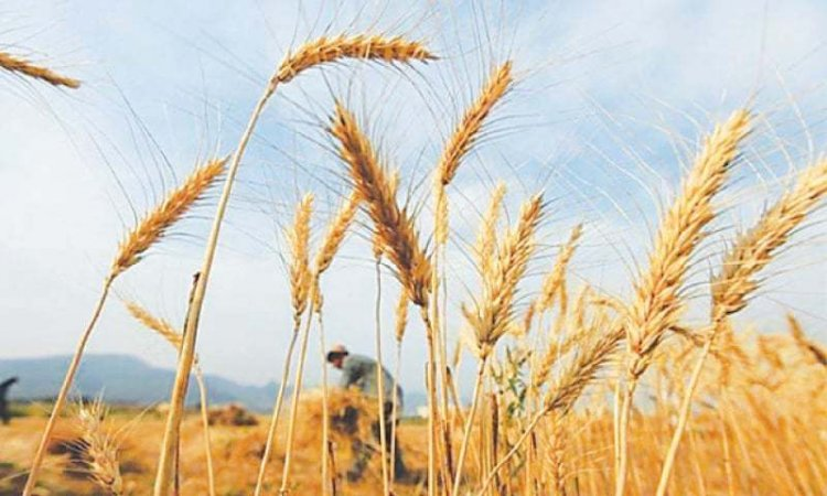 Organic Wheat Farming, Production Practices