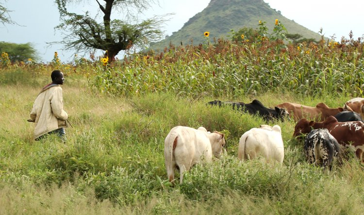 Agriculture In Africa, Crops, Livestock Farming