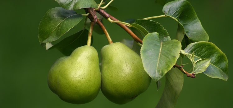 Growing Dwarf Pear Trees – A Full Guide