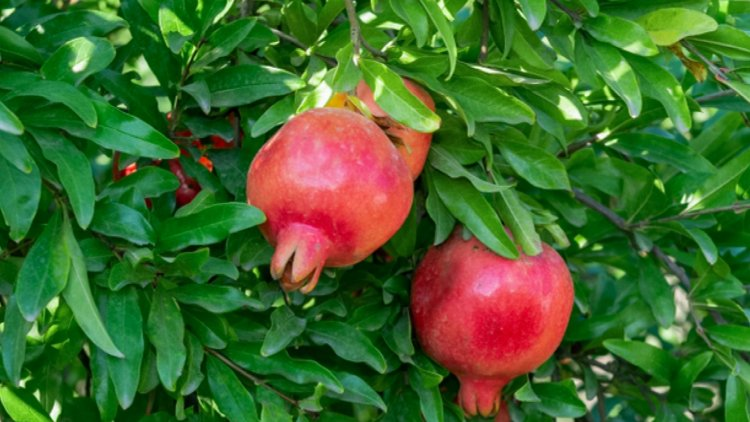 Growing Dwarf Pomegranate – From Seed, Winter Care