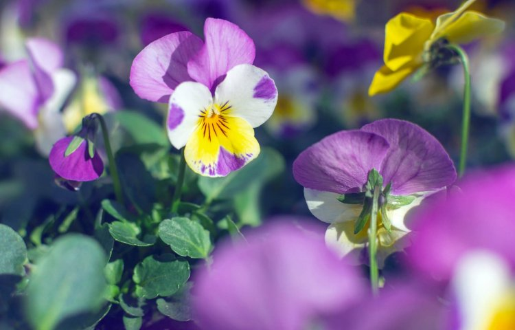 Growing Pansy Flowers – A Full Planting Guide