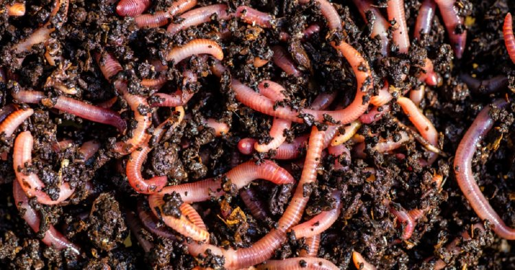 Role Of Earthworms In Soil Health, Benefits of Earthworms